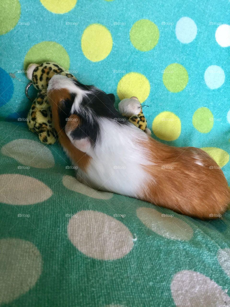 Mischievous Guinea piglet