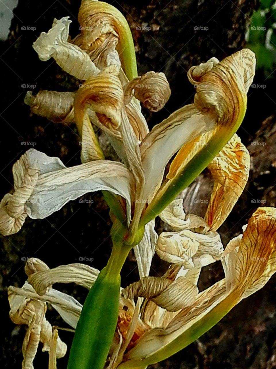 Iris -- after bloom