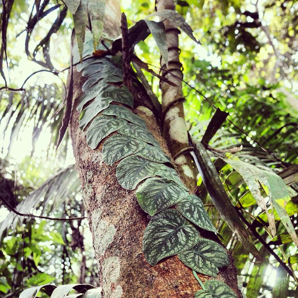 Leaves climbing a tree in the Peruvian Amazon.