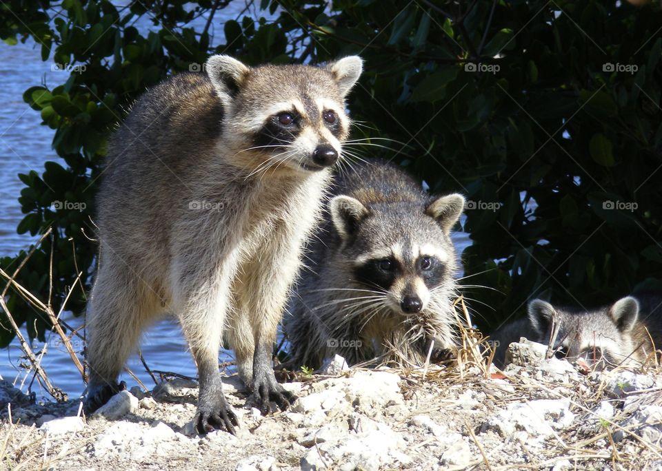 Curious Raccoons