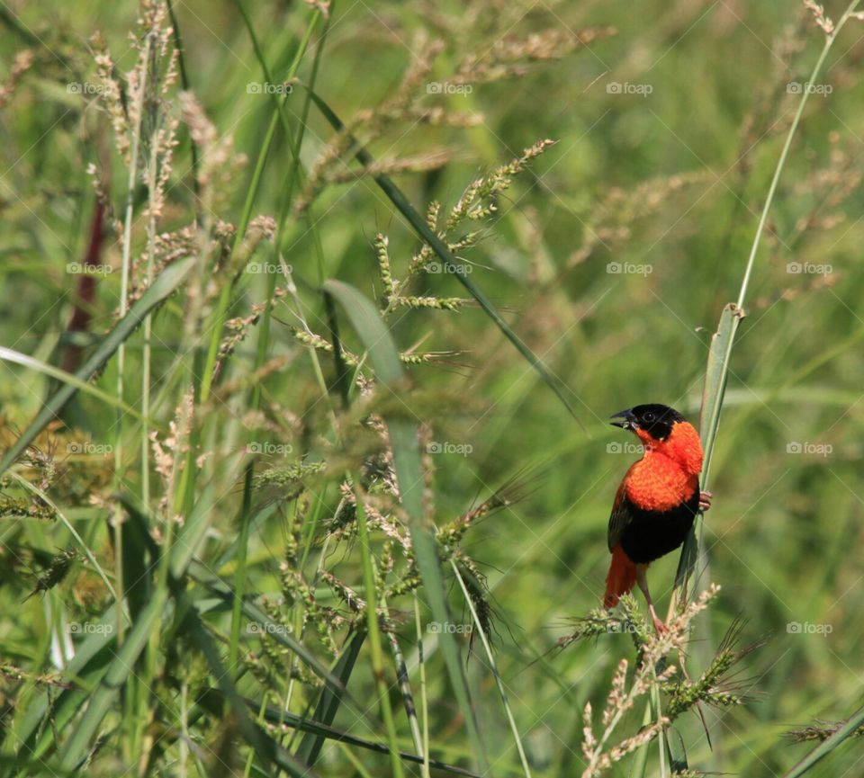 Orange Bishop in reeds