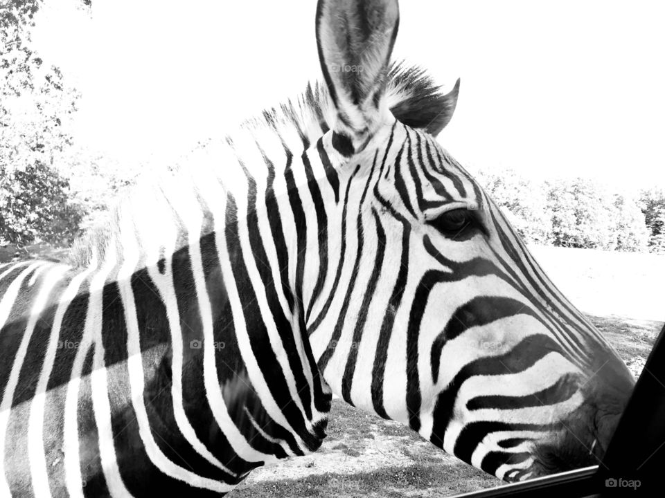 Beautiful photo of side profile of zebras head makes for a stunning black and white photo!