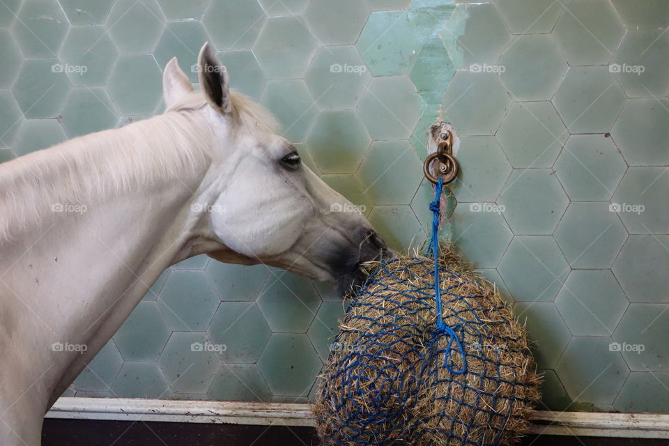 White horse eating hay  in a stable.