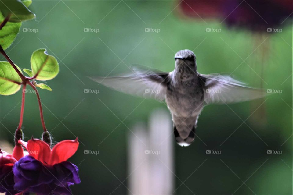 hummingbird inflight wings in motion June 1 2018