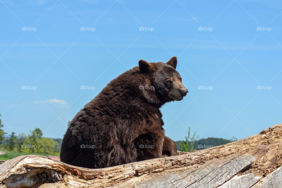 Brown bear sitting on a piece of wood
