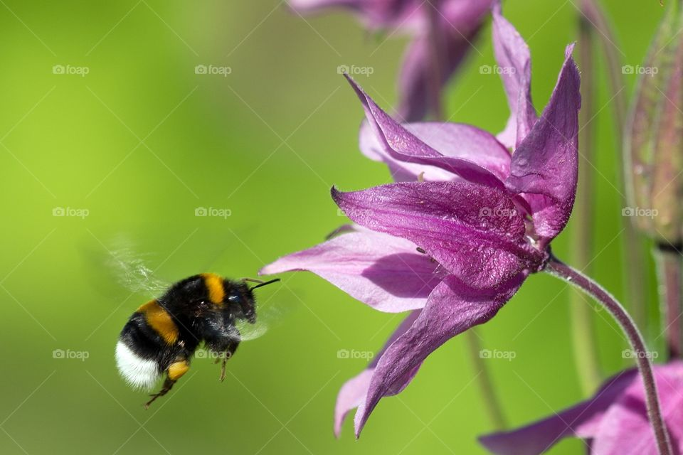 Humble BumbleBee. Tried a long time to get an image of a bumblebee in flight, and this one got decent.