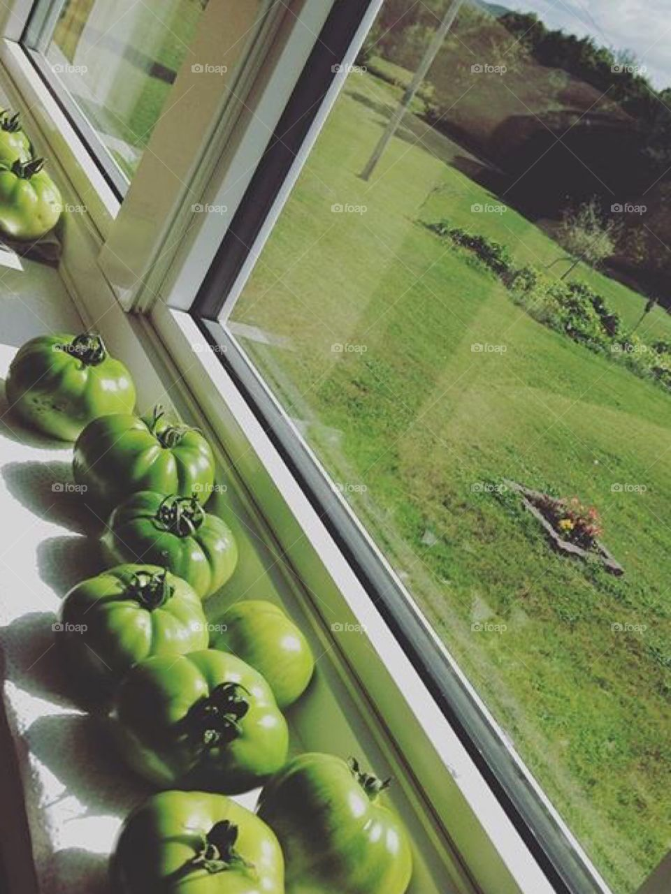 Green tomatoes ripening on a window sill. Over looking garden.