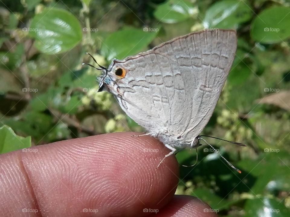 butterfly 2018-01-15 011   #আমার_চোখে #আমার_গ্রাম #nature #butterfly #animalia #arthropoda #insecta #lepidoptera
