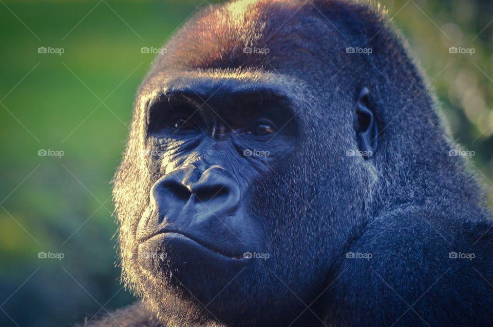 Gorilla at Valencia Bioparc