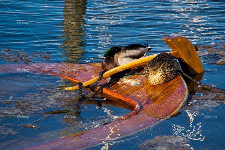 Sunny ducks