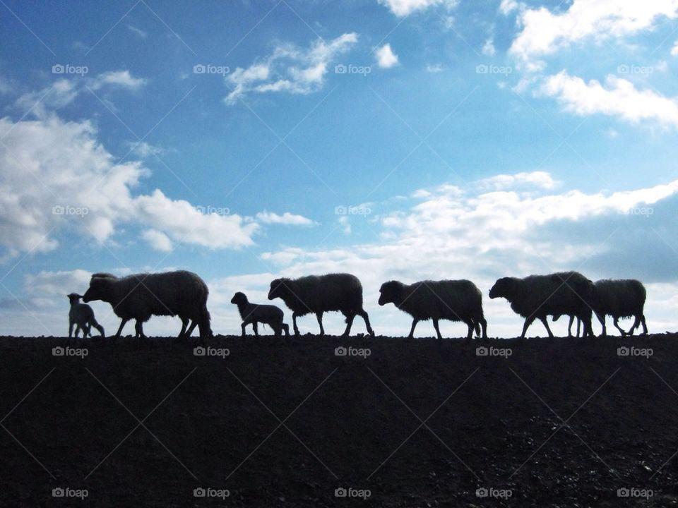 A herd of sheeps walking