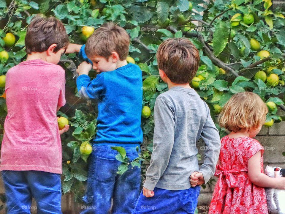 Children Gathering Lemons In The Garden
