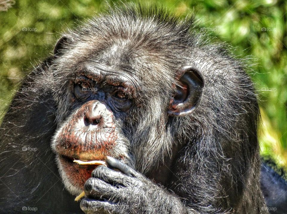 Chimp eating a snack