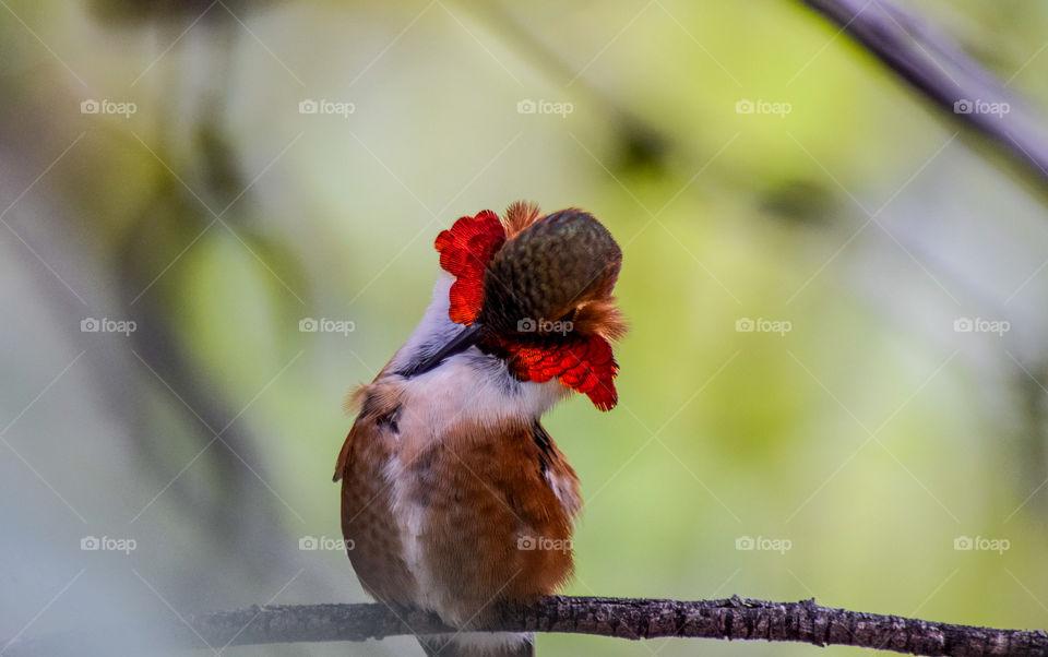 Orange-necked hummingbird