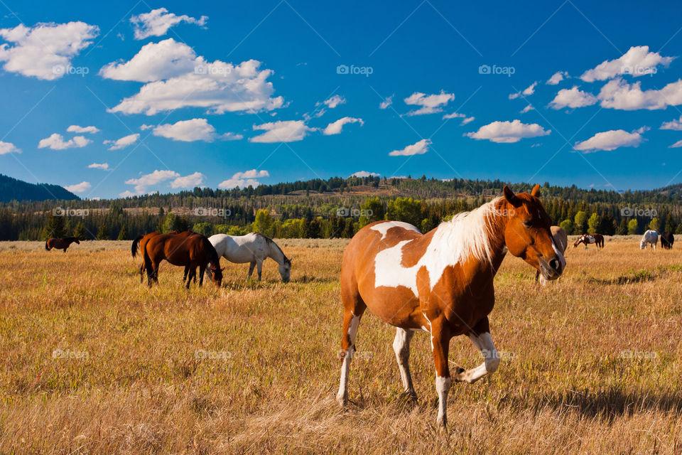 Horses in grand Teton national park