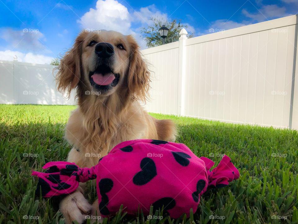 Happy pet golden retriever