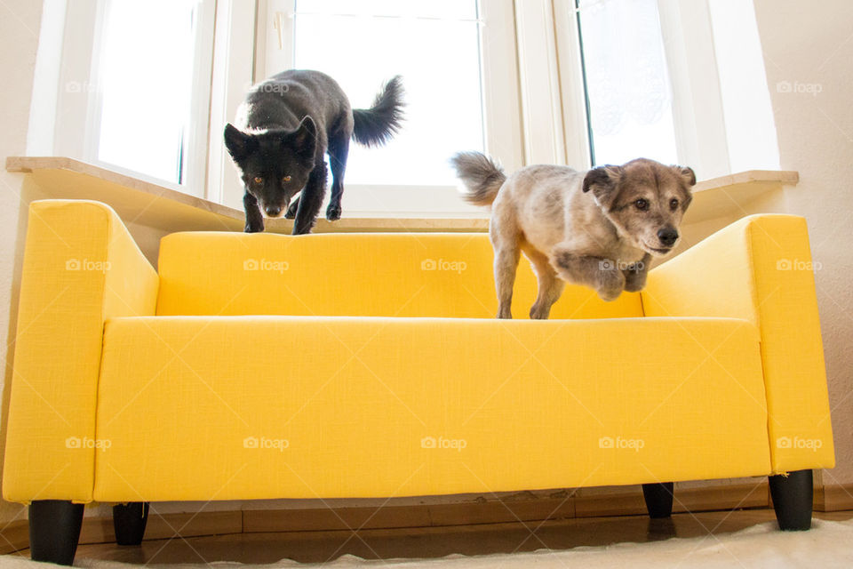 Dogs jumping off yellow couch