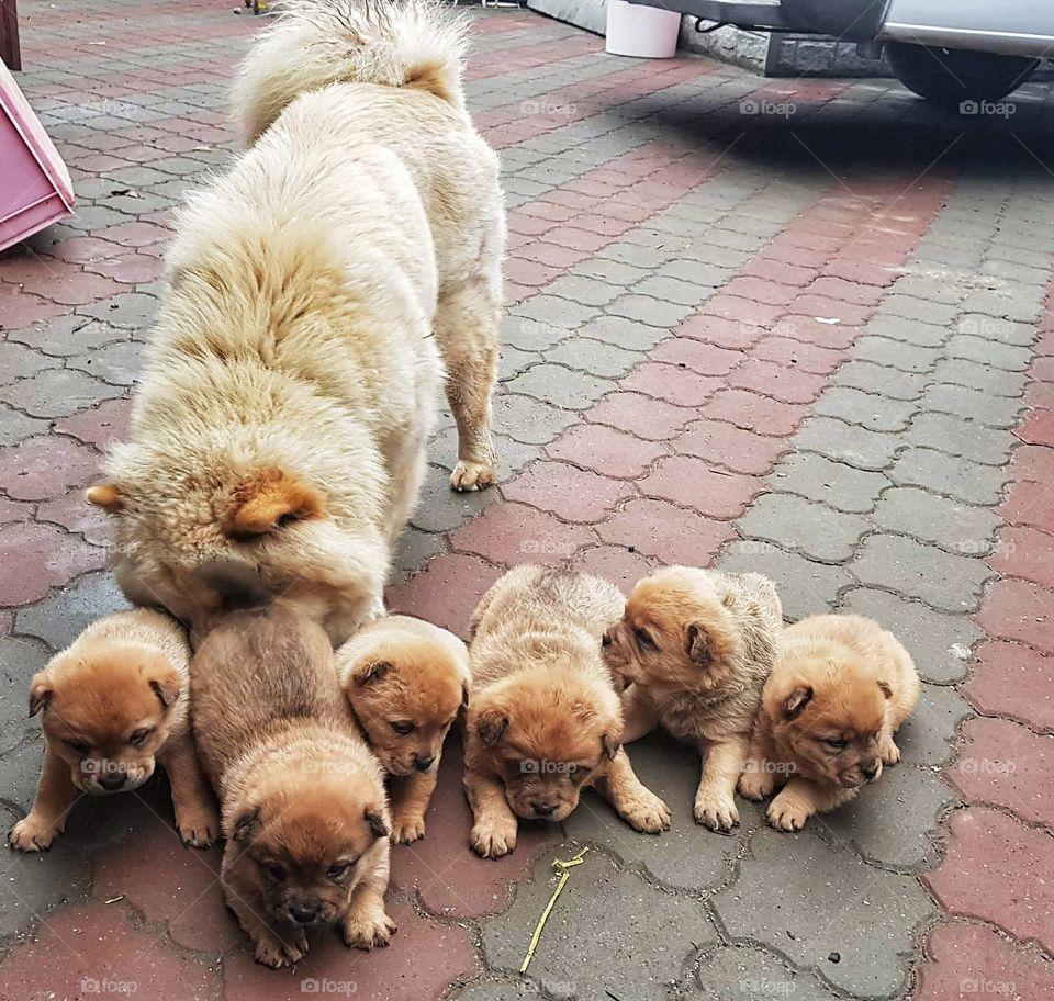 Arya,chow chow,Dogoftheday ,doglife ,puppypalace ,dogs ,doglover ,pets ,dogsofig ,doglovers ,doggy ,doggie ,ilovemydog ,pup , puppygram ,doggies , dogsitting, dogstagram ,pet,doglove ,puppy ,dogslife ,dog ,puppylove,animals ,animal ,pet ,dog , dogs ,