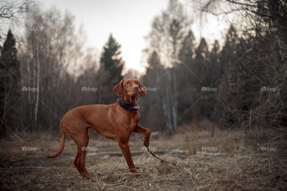 Hungarian vizsla playing outdoor at spring evening