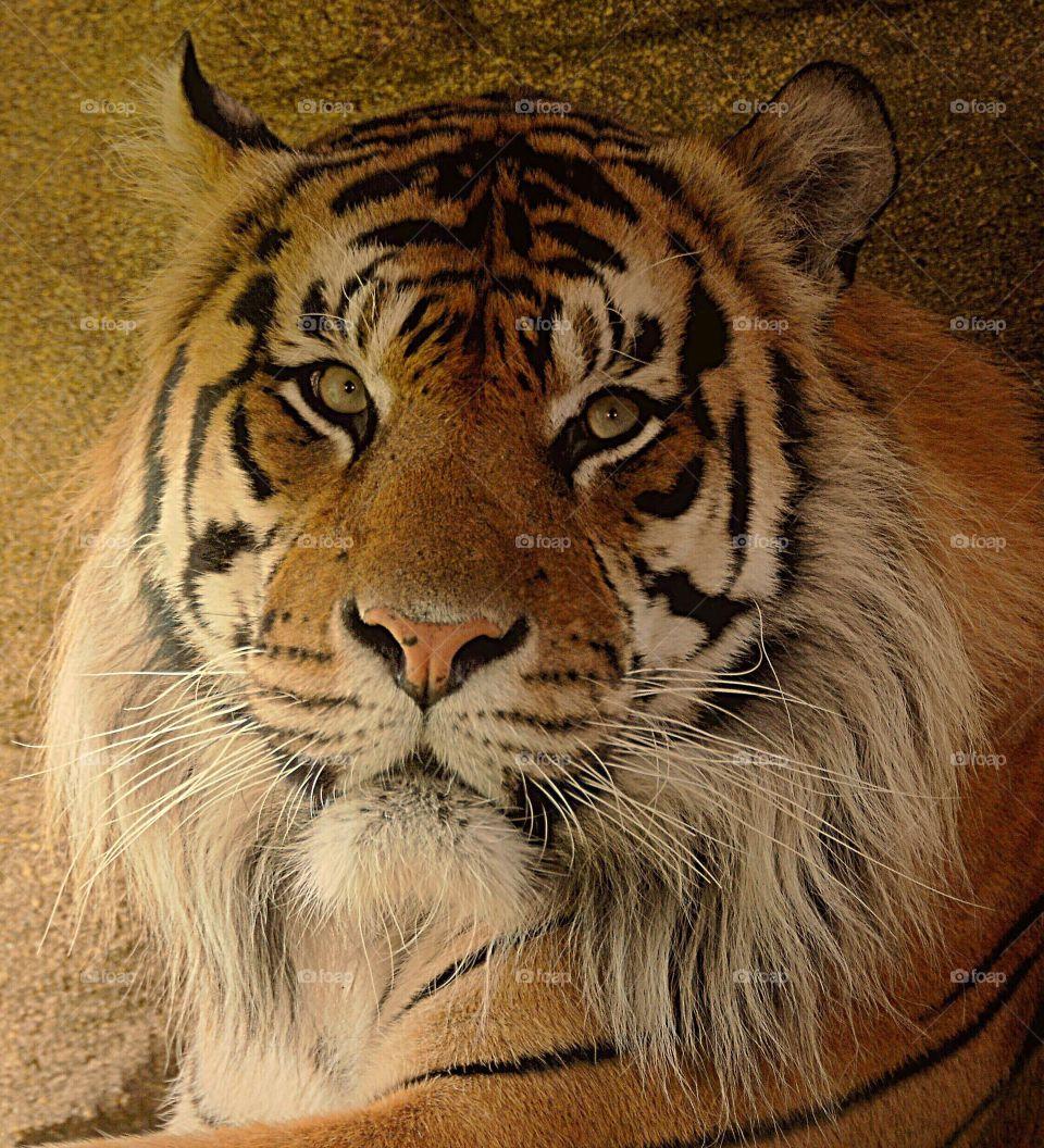 Facial portrait of a Siberian tiger.