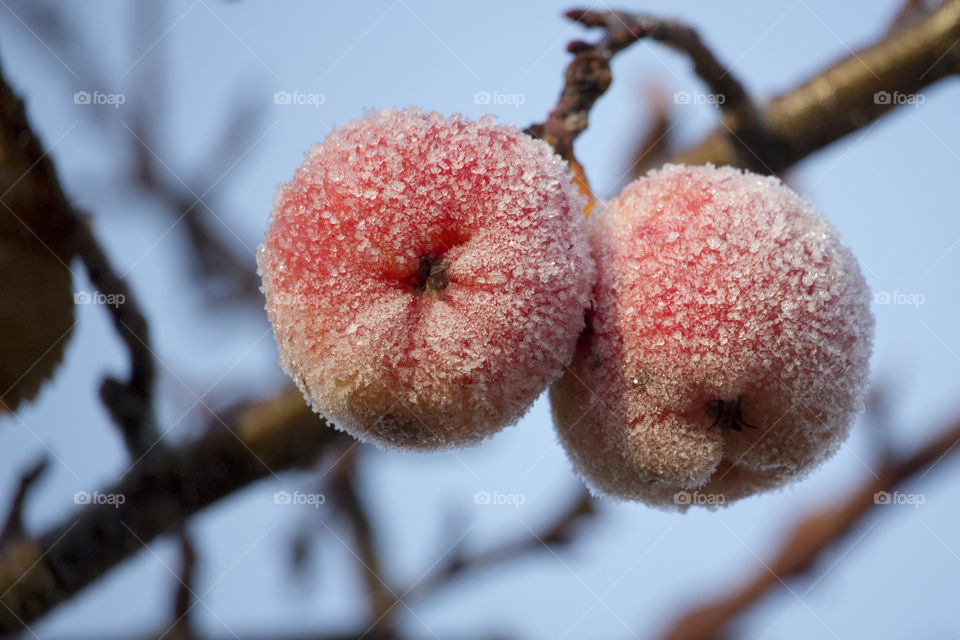 Close-up of cherry covered with snow