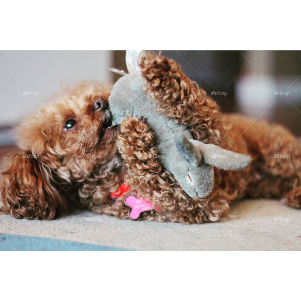 Puppy playing with toy. My miniature poodle dog, Momo loves playing with her toy
