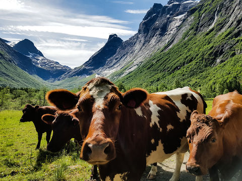 Close-up of cow family