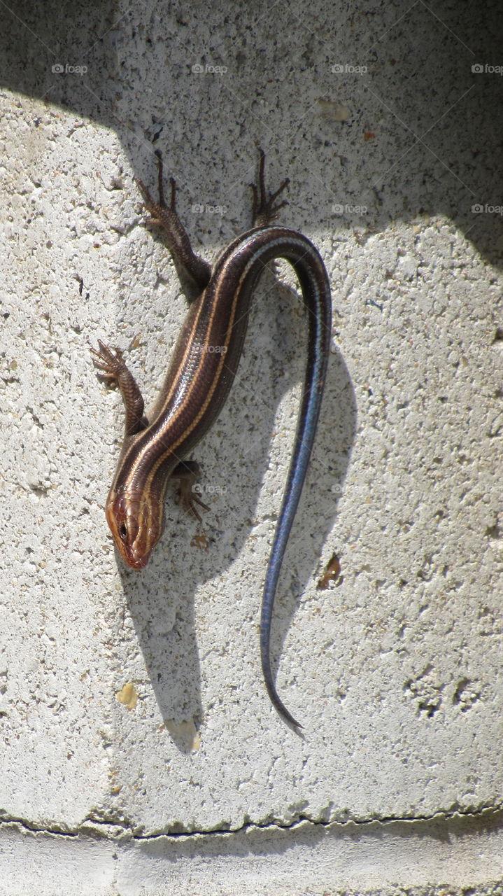 Blue tailed lizard