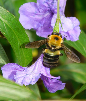 Bee's pollinating flowers and wings flapping