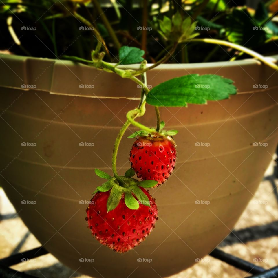 Red Strawberries planted in pot