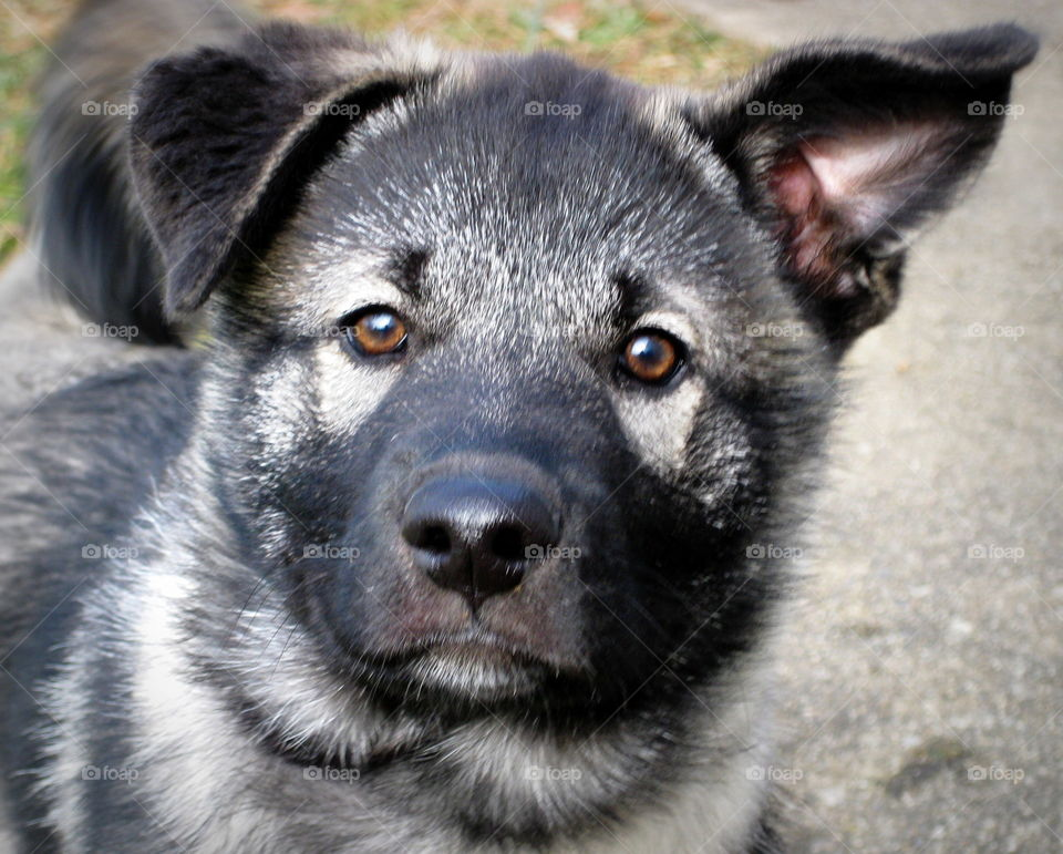 This is an Elkhound puppy that has one ear up and one ear flopped down.