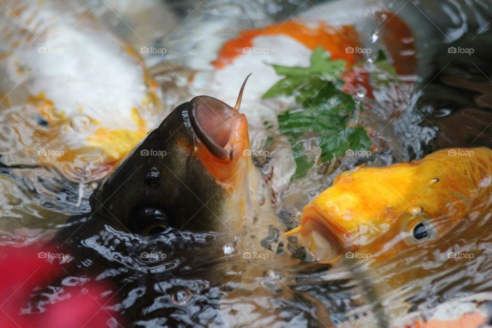 Koi fish coming up for food