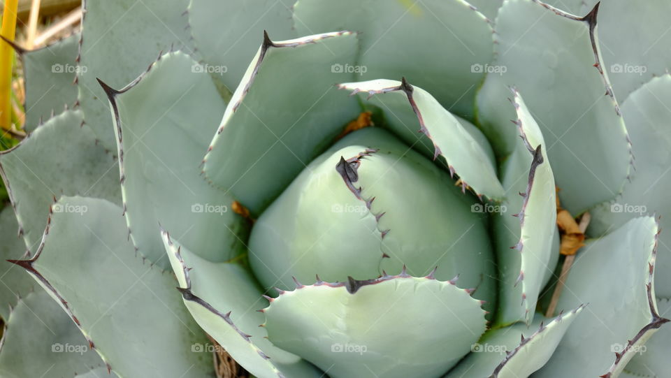 Echeveria, a succulent with spikes on it. Fleshy and waxy leafs, a perfect example of adaption in arid environment like that in California.