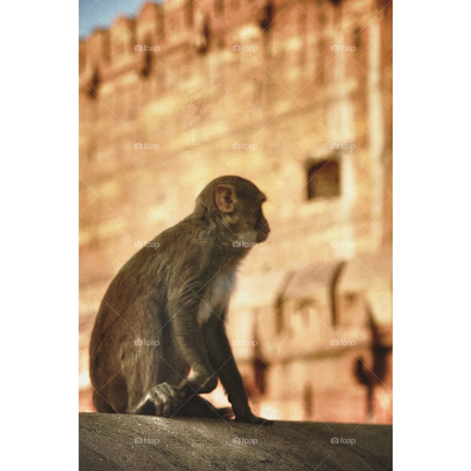 A macaque contemplates his attack of Agra Fort, Uttar Pradesh, India. A macaque contemplates his attack of Agra Fort, Uttar Pradesh, India