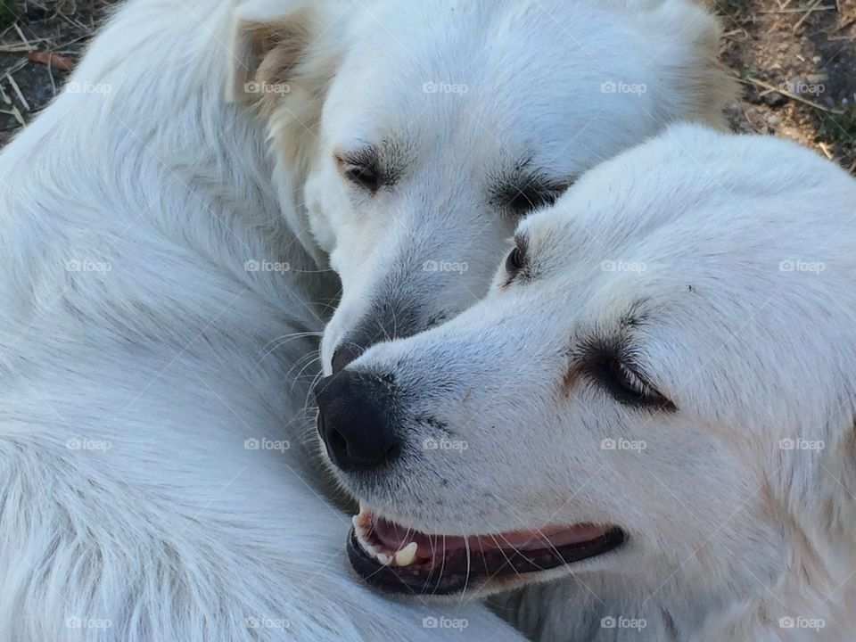 Maremma love. A maremma sheep dog and her niece show love for each other with play.