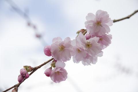 Cherry blooming  branch close-up. Blommande körsbär gren närbild