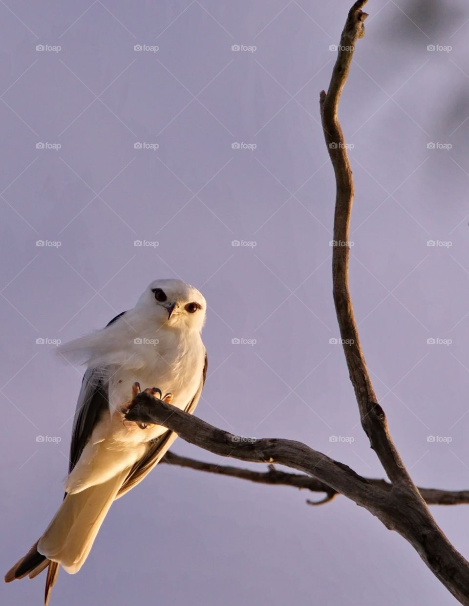 Black shoulderd kite looking down from a hunting tree at sunrise