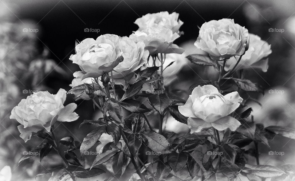 nature flower rose bw by resnikoffdavid