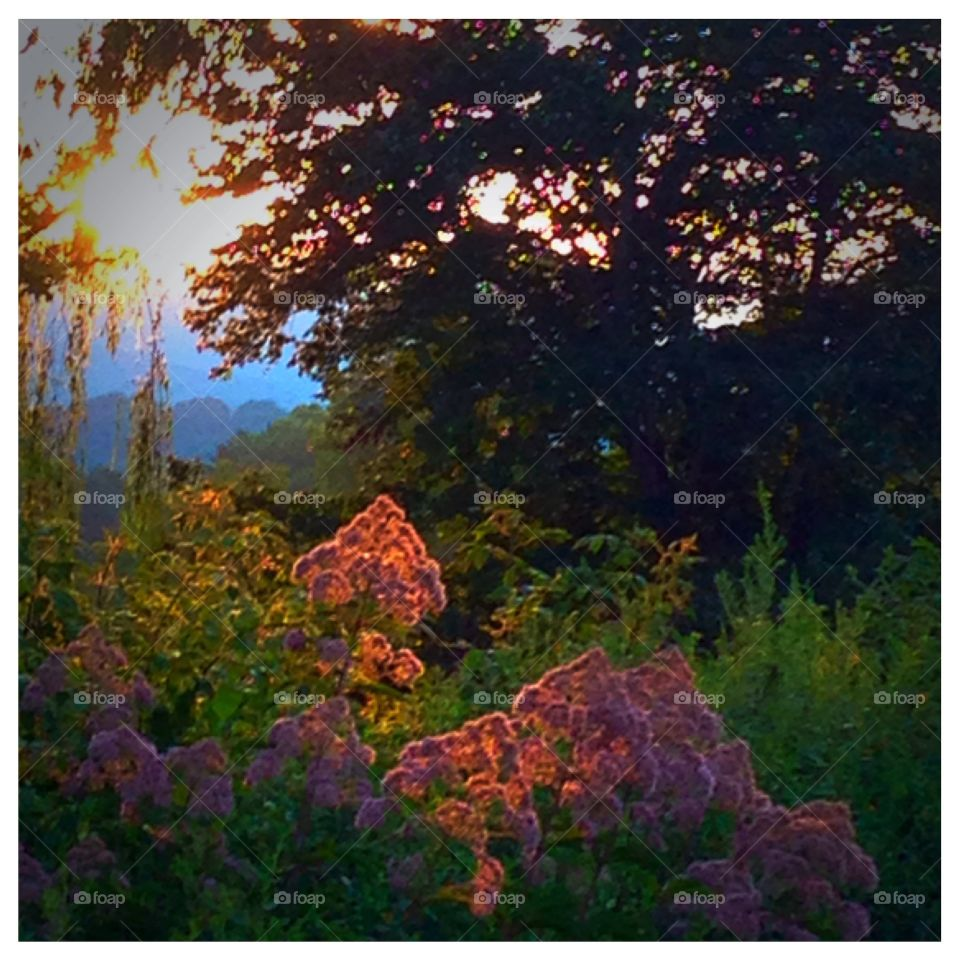 Spotlight on Joe Pye. A ray of the setting sun found a colorful weed to smile upon.