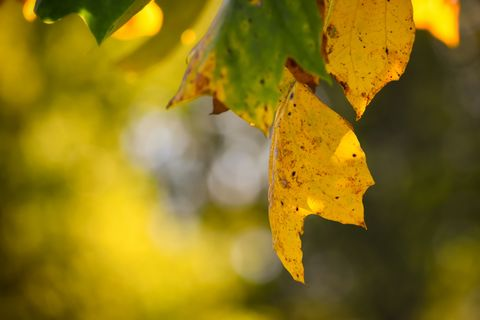 Yellow leaves in autumn backlit by evening sun