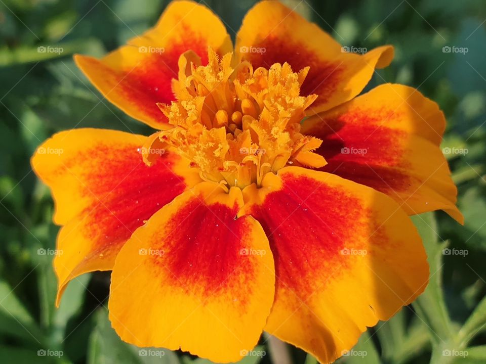 red and yellow flower closeup