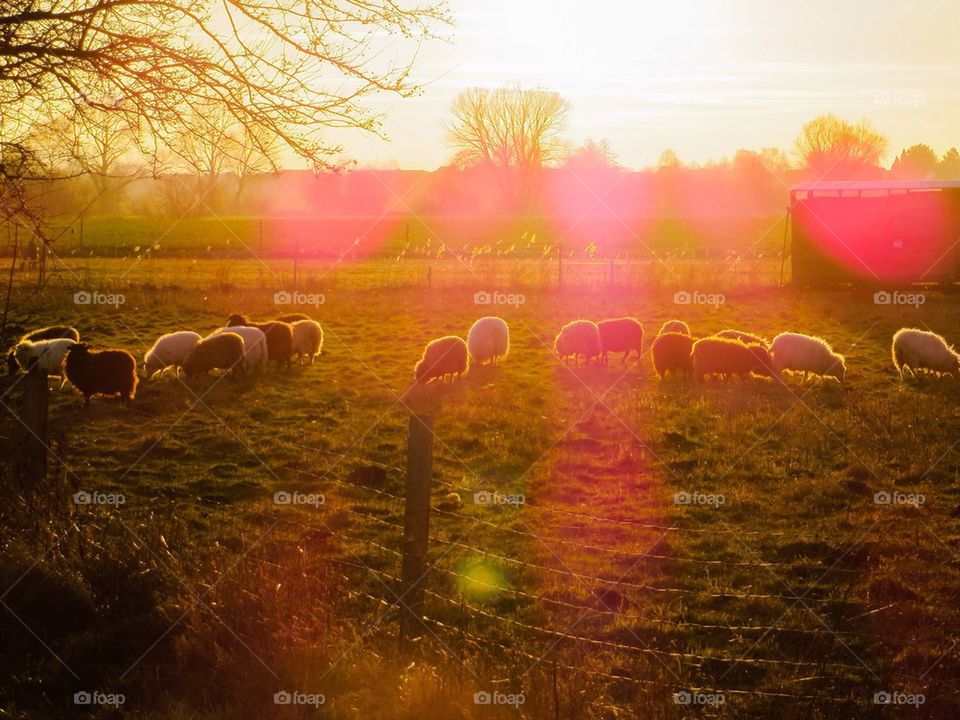 Colourful sheep