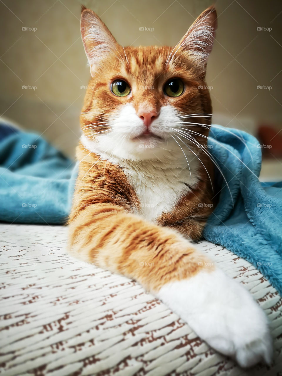 A large beautiful ginger tabby cat imposingly lies on a sofa and looks at the camera.