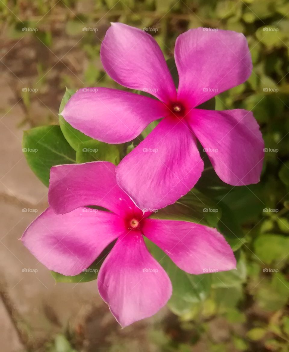 pinck colour flower very beautiful looking pic click