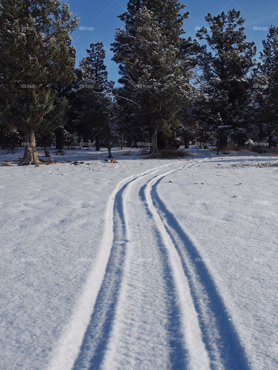 Tire tracks on a snow covered hill lead up to a juniper forest in Central Oregon on a cold winter day.