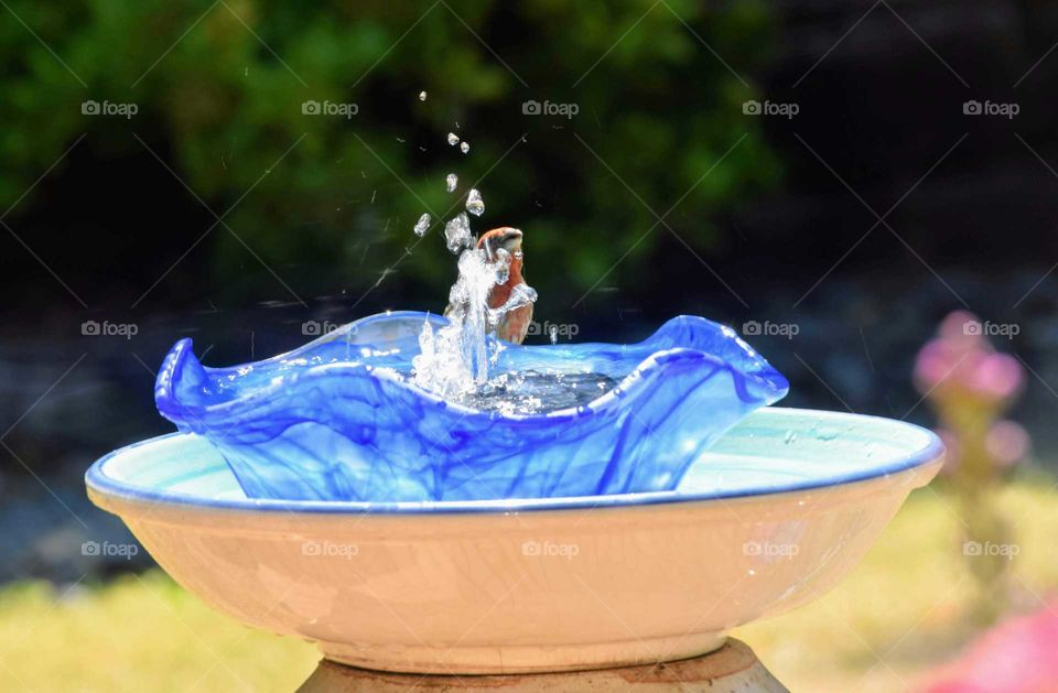 House finch behind beautiful water fountain June 22nd 2018