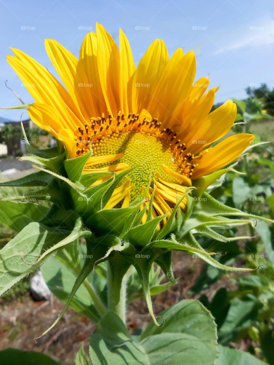 Top Open Sunflower