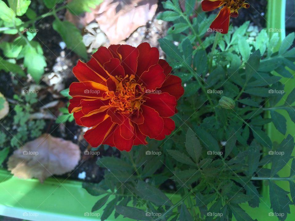 My Marigold
