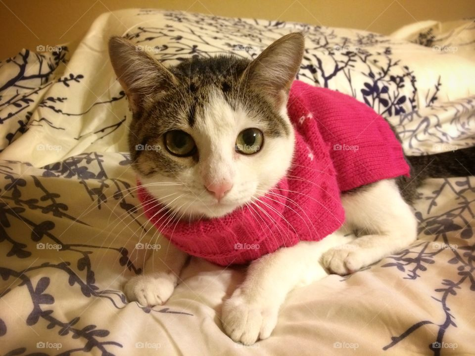 Kitty in a sweater. My little cat Tina wearing a winter sweater