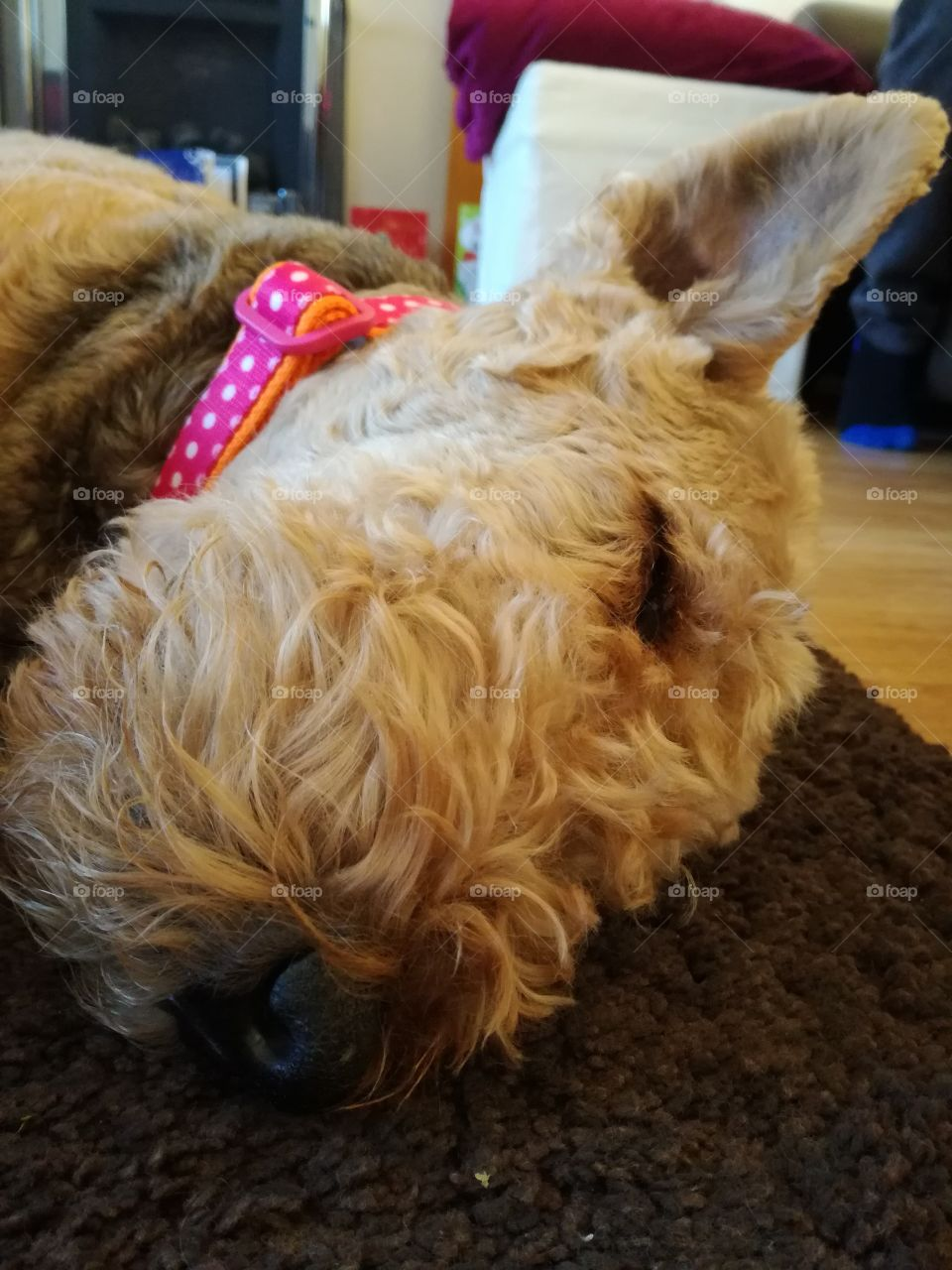 A close-up of a cute, sleeping Airedale Terrier.